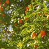 Mandarine Rot ätherisches Öl